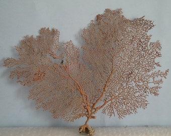 "12.5"" x 10.7"" Pacifigorgia Red  Sea Fan Seashells Reef Coral"