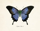 Papillon Butterfly Print No. 8 - Vintage Butterfly Print - Giclee Canvas Prints - Posters - Digital - Illustration - Wall Art