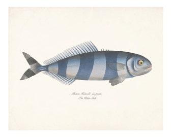 Vintage Fish Natural History Gicle Art Print – Pilote-Fish