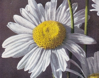 "Ca. 1970's ""Ox-Eyed Daisy"" Friendship Greetings Postcard - 32"