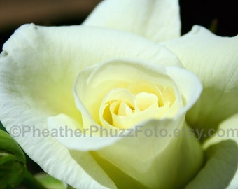 White Rose Wildlife Photography Fine Art Nature Print, Flower Floral Photo, Cream Ivory Rose Home Decor, Wall Art
