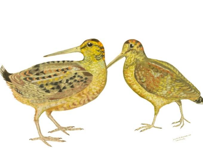LIMITED EDITION of Woodcocks, Timberdoodle or Timberdoodles, Scolopax minor, Game bird, Bird Art, Field, Woodland bird, Rare Field Birds