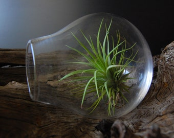 Air Plant Terrarium, Air Plants, Glass Terrarium, Blown Glass