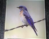 """Glass Tile or Coaster  - Bluebird  4.25"""" x 4.25"""""""
