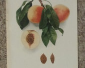 Vintage early 20th century Lithograph CAPTAIN EDE PEACHES book illustration