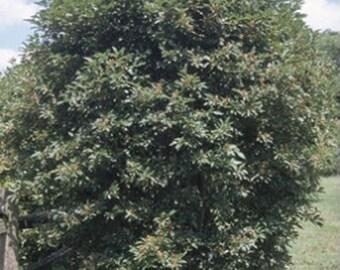 Silky Dogwood Tree Seeds, Cornus amomum - 25 Seeds