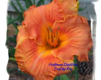 "Daylily, ""Trial by Fire"", double fan, perennial"