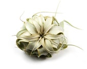 Xerographica Mini Air Plant - The Queen of Air Plants - 30 Day Air Plant Guarantee - 3 to 5 Inches Wide - FAST SHIPPING