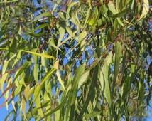 Eucalyptus citriodora Tree 25 seeds Lemon-Scented Gum Smooth White Bark Aromatic Small White flower clusters Houseplant gardening -Standard
