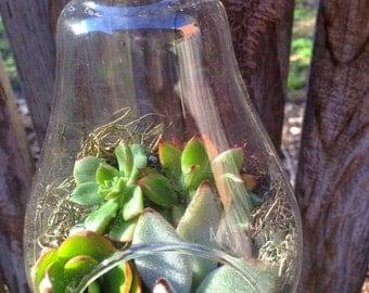 Large Hanging Succulent Terrarium,Light Bulb Terrarium, Hanging Succulent Garden, Ecofriendly Gift, Succulent Garden, Glass Terrarium