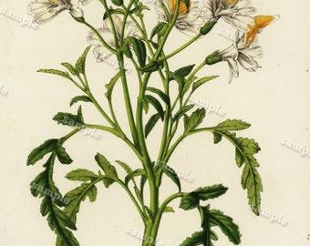 Schizanthus grahami, flore albo 1852  Hand colored  Botanical  Hand Colored  Flora Lithograph Original art wall art decorative art