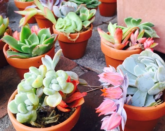 Baby shower succulent favors 25 pack