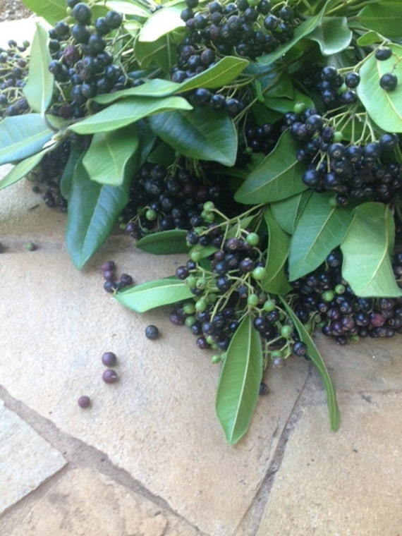 "ALLSPICE (Pimenta dioica) 4-6"" Tree SEEDLING-Maui, HAWAII ..."