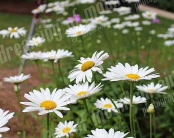 Daisy Field, Daisies, North Carolina, Digital Image, Instant Download