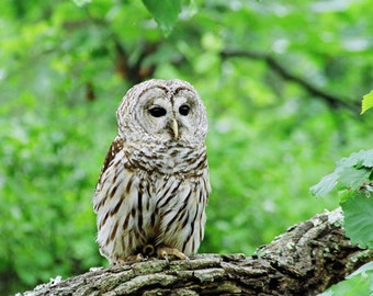 Barred Owl in Pine Barrens, Fine Art Photo