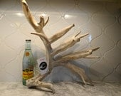 Texas Whitetail Deer Antler #8007