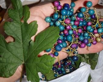 Porcelaine grape berry vine 20 seeds, Ampelopsis, hardy liana, blue rare berries