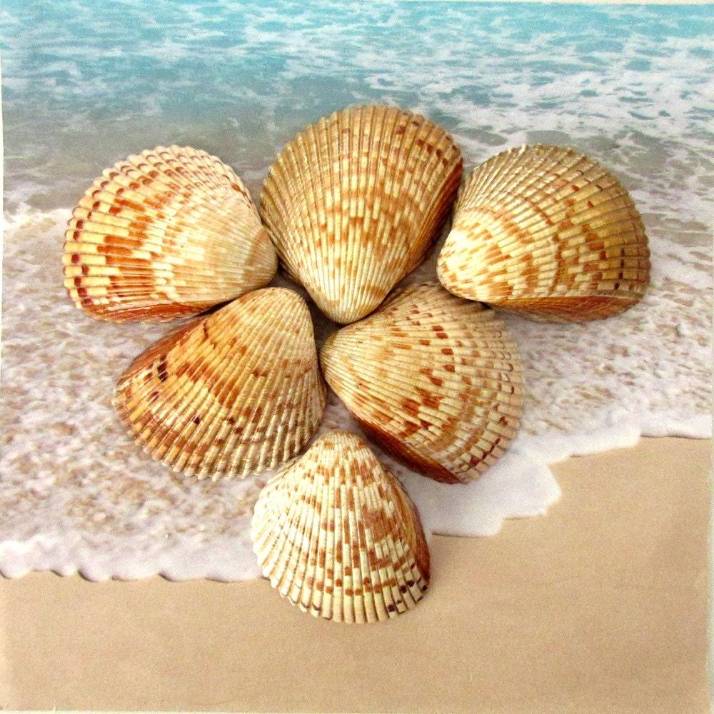 Large cockle shells set of 6 florida seashells craft for Big seashell crafts