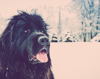 Newfoundland Dog in the Snow 8x8 or 8x10 Print