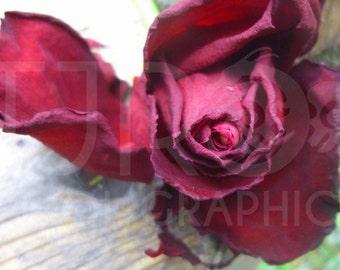 Velvet Rose, Digital Download, Photograph, Print, Flower, Office Decor, Home Decorating, Digital, JPG, Blossom, Romance, Wall Art