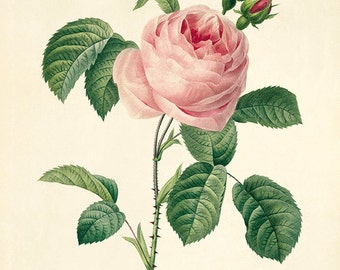 Pink Rose art print vintage flower print Cottage wall art Victorian print French decor antique print Flower decor Flower print Garden print