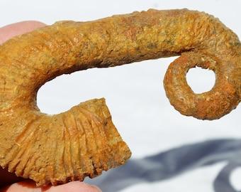"8162x Heteromorph Ancyloceras Ammonite 117myo Fossil Creteceous 88mm LARGE 3.5"""