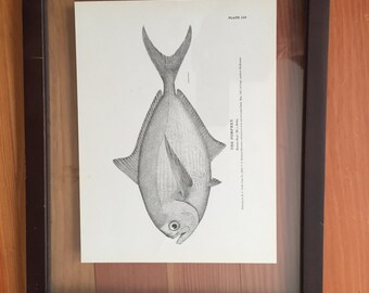 Antique Pomfret Fish Print, Framed