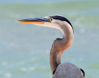 Great Blue Heron Photograph // Bird Close-Up Print // Heron on the Beach Picture