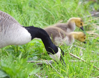 Canadian Goose and Goslings // Bird Photography // Canada Goose Print // Baby Birds