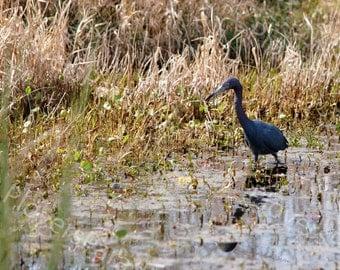 Little Blue Egret // Egret Photograph Print // Florida Nature Photo