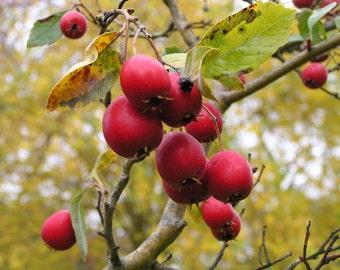 5 Crataegus calpodendron Seeds, hawthorn Berry Seeds
