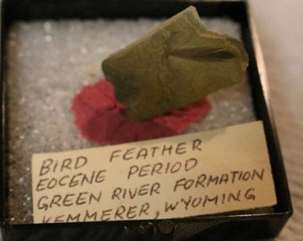 Bird Feather Fossil Eocene Period Green River Formation Kemmerer, Wyoming