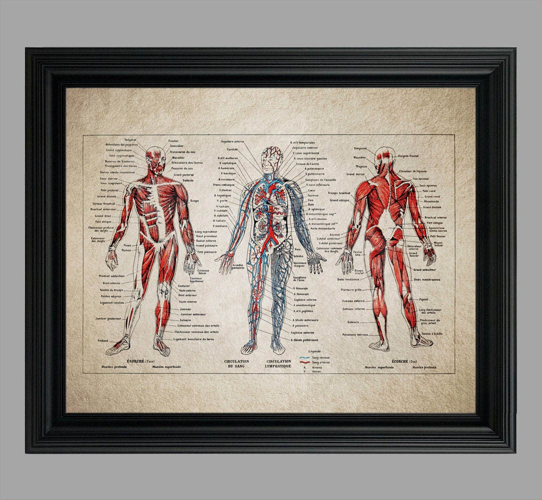 Jahrgang menschlichen Anatomie Druck für Student der Medizin