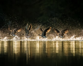 Geese flying off