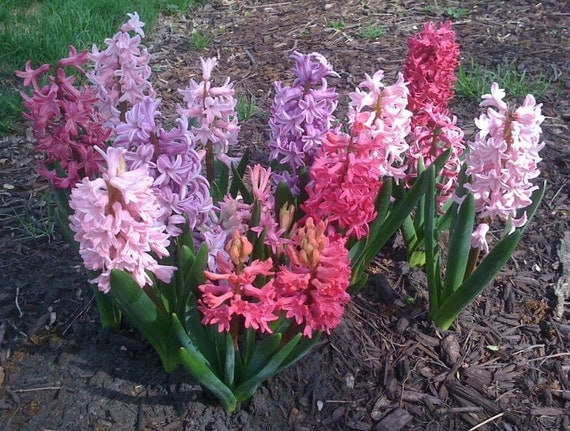 3 highly fragrant mixed color hyacinth bulbs pre chilled - Planting hyacinths indoors ...