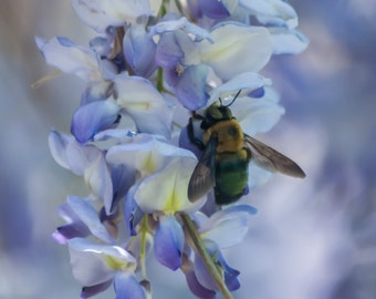 Bee on Blue Wisteria-Flower Garden-Photography-Wall Art-Fine Art Print-Home Decor