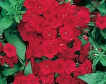 Crimson Beauty Phlox Flower Seeds / Drummondii Nana / Annual  30+