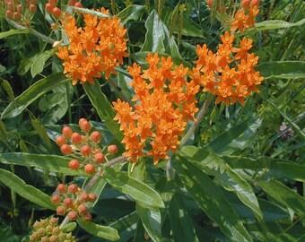 Butterfly Bush Asclepias