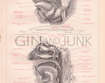 Antique Anatomy Print, German anatomy print showing the human face, muscles, wind pipe etc. from 1890, Medical Drawing, Human Body Print