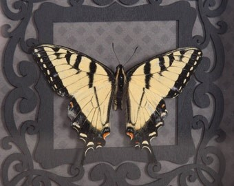 Real Eastern Tiger Swallowtail 7x7 Frame
