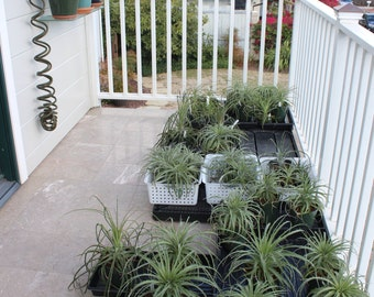 Puya Species in Pots