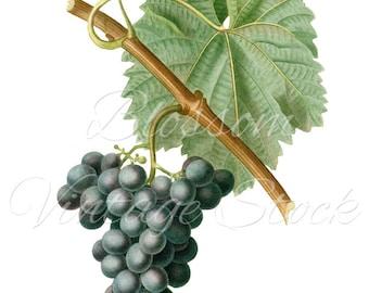 Grape Vintage Image - Grape Clipart - Grape Graphic for prints, digital artwork, collage, decoupage, wall decor - INSTANT DOWNLOAD - 1079