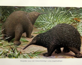 1920 Antique  ECHIDNA color lithograph, original  australia animals engraving print, spiny anteaters zoology plate.