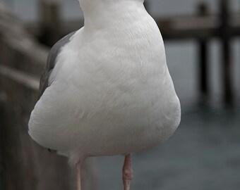 Sea Gull - bird photograph - ocean art photography seagull coastal bodega california