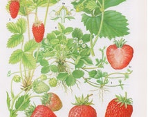 1960's Vintage Strawberry Fruit Lithograph