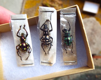 Jewel Weevil Package 8  Real Insects Unmounted