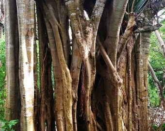 Roots and Tendons. The huge trunk of a jungle Fig tree. Izamal, Mexico