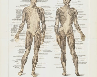 1911 Antique print of  ANATOMY, Muscular system in human body, fine color lithograph