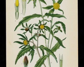 1896 BOTANICAL antique print, flower print chromolithograph Three-lobe Beggarticks, marigold