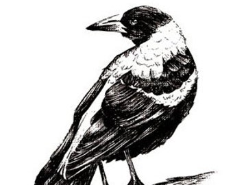 Magpie Print Hand Drawn Australian Bird Illustration